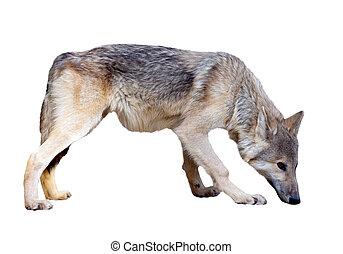 volle länge, von, grauer wolf