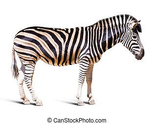 volle länge, von, zebra