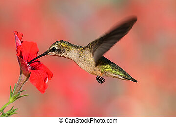 volo, ruby-throated, colibrì