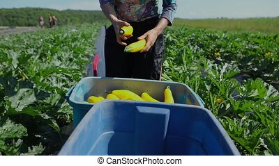 volontaire, crops., écologique, ferme, travail
