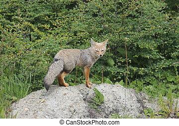 volpe grigia, americano, griseus), (lycalopex, sud