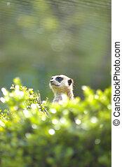 volte face, meerkat