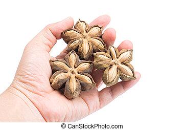 volubilis, cortando, amendoim, isolado, mão, experiência., plukenetia, semente, inchi, caminho, branca, ou, sacha