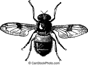 Volucella, vintage engraved illustration. Fly Volucella isolated on white background. Volucella isolated on white. Dictionary of words and things - Larive and Fleury - 1895.
