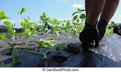 Closeup and detailed footage on the working hands of a caring farmer, carefully planting organic crops through holes in weed suppressant membrane with copy-space.