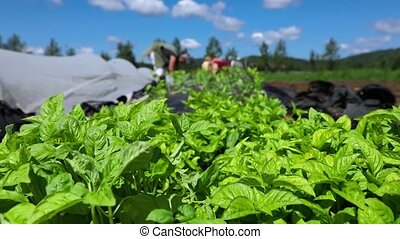 Healthy green basil plants are viewed up-close on an organic farm during harvest season, blurry farmhands are seen tending to crops in the background.