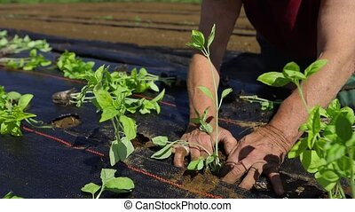 Working hands are seen in up-close detail as a person plants new crops in lines on an eco-friendly farm during growing season, outdoors on a sunny day.