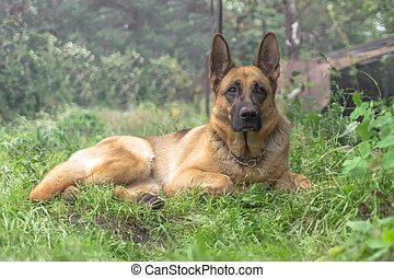 volwassene, duitse herdershond, dog