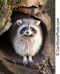 volwassene, wasbeer, op, zijn, nest