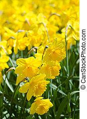 voorjaarsbloem, daffodils, geel veld