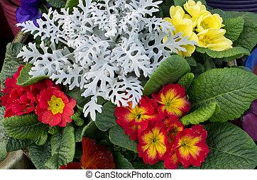 voorjaarsbloem, sleutelbloemen, regeling