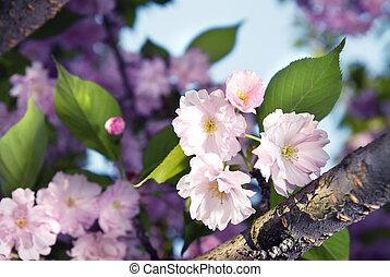 voorjaarsbloesem, van, paarse , sakura