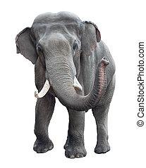 voorkant, elefant, vrijstaand, aanzicht