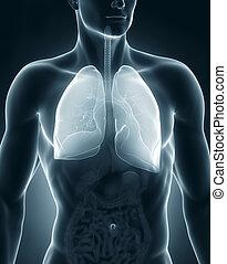 vorhergehend, atmungssystem, koerperbau, mann, ansicht