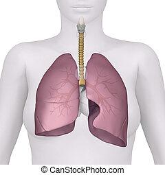 vorhergehend, atmungssystem, koerperbau, weibliche , ansicht