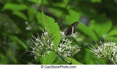 vorst butterfly, closeup