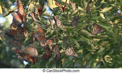 vorst butterfly, migratie, groep