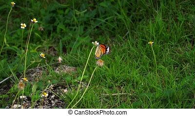 vorst butterfly, op, bloem