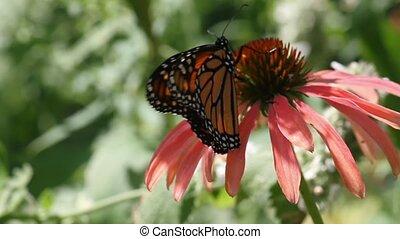 vorst butterfly, op, kegel bloem