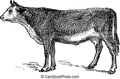 Vosges cattle breed, vintage engraving.