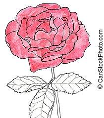vrai, hand-drawn, flower., aquarelle, vecteur, drawing., illustration., rose.