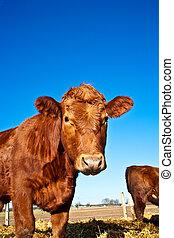 vriendelijk, vee, blauwe , stro