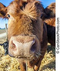vriendelijk, vee, op, stro