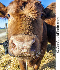 vriendelijk, vee, stro