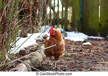 vrije reeks, boerderij, chicken
