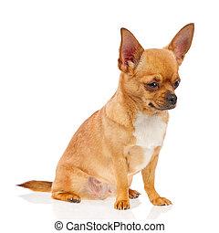 vrijstaand, achtergrond., chihuahua, dog, witte