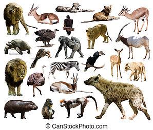 vrijstaand, anderen, afrikaan, animals., hyena, witte