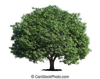 vrijstaand, boompje, op wit, barst, wilg, (salix, fragilis)