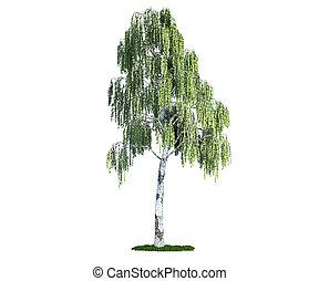 vrijstaand, boompje, op wit, berk, (betula)