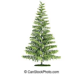 vrijstaand, boompje, op wit, dennenboom, (pinus)