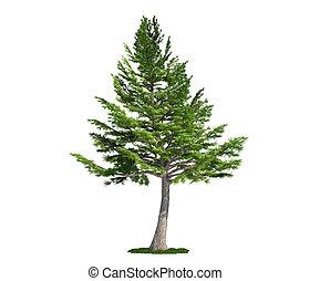 vrijstaand, boompje, op wit, libanon, ceder, (cedrus, libani)