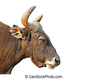 vrijstaand, bull\\\'s, hoofd