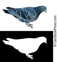 vrijstaand, duif, w, doorzichtigheid