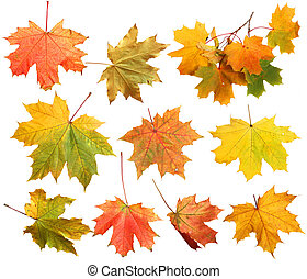 vrijstaand, herfst ahorn loof