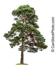 vrijstaand, pijnboom, op, een, witte achtergrond