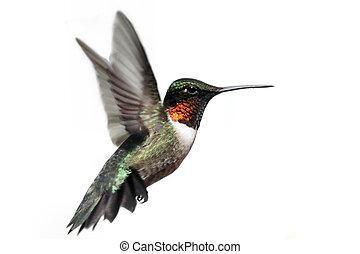 vrijstaand, ruby-throated, kolibrie
