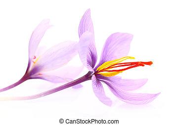 vrijstaand, saffraan, op, achtergrond, afsluiten, witte bloemen
