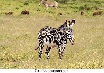 vrijstaand, zebra, wandelende, in, de, savanne, van, samburu, park