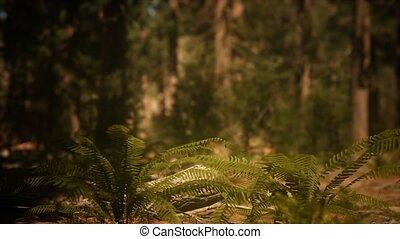 vroeg, mariposa, morgen, bosje, zonlicht, sequoias