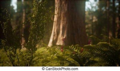 vroeg, sequoias, morgen, bosje, mariposa, zonlicht