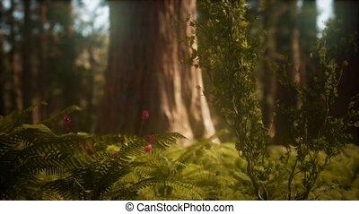 vroege morgen, bosje, mariposa, zonlicht, sequoias