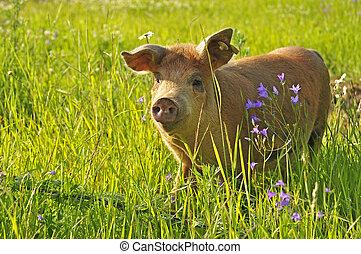 vrolijke , varken