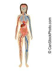 vrouw, achtergrond, illustratie, anatomie, menselijk, witte