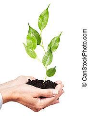 vrouw, handen, met, groene, plant.