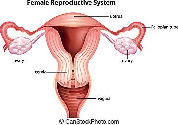 vrouwelijk reproductief systeem