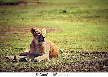vrouwelijke leeuw, lying., ngorongoro, tanzania